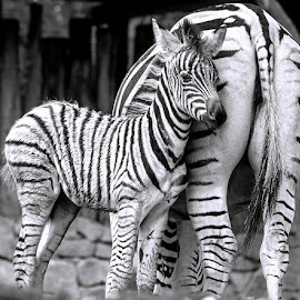 by Renos Hadjikyriacou - Black & White Animals (  )