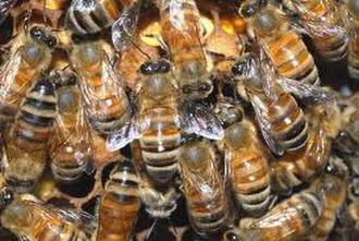 تربية النحل