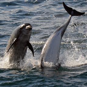 Dolphin illusion by Sarah Tregear - Animals Sea Creatures ( head, waves, dolphin, tail, sea creature, sea,  )