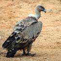 Buitre leonado (Griffon vulture)