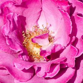 Pink Rose by Dave Lipchen - Digital Art Things ( pink rose )