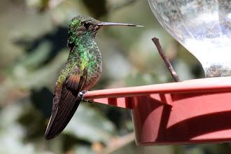 Photo: Berylline Hummingbird