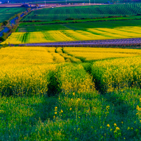 Rape filed  by Stefan Sorean - Landscapes Travel ( country, fuel, rural, yellow, panoramic, crops, summer, farmland, agriculture, spring, cloud, rape, beautiful, view, oil, season, farm, sunny, village, meadow, energy, sky, green, blossom, natural, nature, countryside, oilseed, canola, flower, outdoor, environment, rapeseed, panorama, field, blue, background, plant, growth, landscape )
