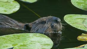 Leave It to Beavers thumbnail