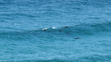 Photo: Dolphins surfing - Seal Rocks