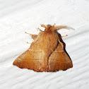Tent Caterpillar Moth - Lappet Moth