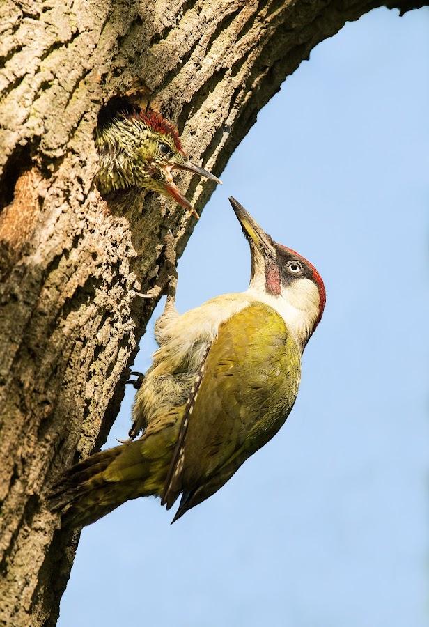 Green woodpecker & chick by Paul Mcmullen - Animals Birds ( green woodpecker, woody, woodpecker )