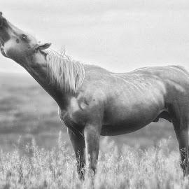 Solitude by Sheen Deis - Black & White Animals ( farm animals, scream, animals, black and white, horses, solitude )