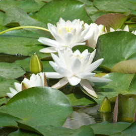 White by Helena Moravusova - Flowers Flower Gardens ( flowers, white, water lily )