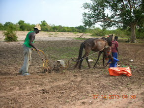 Photo: Seeding rice by horse drawn machine. Soil is mixed into the hopper to increase within-row spacing and then thinned to 1 seedling per hill after emergence in Kaffrine Region, Senegal, West Africa. [Photo by Lorraine Perricone- Dazzo, July 2013]