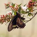 Battus swallowtail