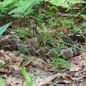 Timber Rattlesnake, aka Canebrake or Banded Rattlesnake