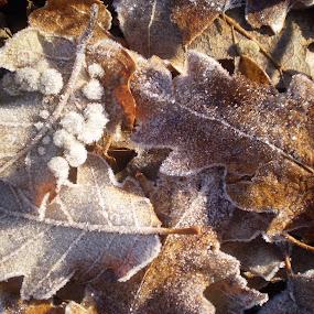 frost by Marijana Gašpić - Nature Up Close Leaves & Grasses