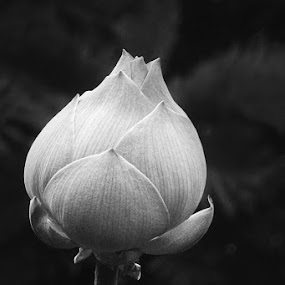 the magnificent Lotus bud by Philips Onggowidjaja - Black & White Flowers & Plants
