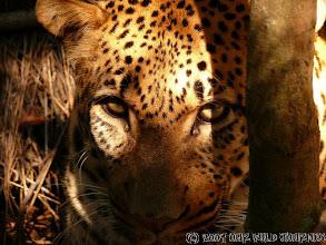 """Photo: Očička nádherného Leoparda v soukromém zvířecím """" děckém domově"""" / The eyes of lovely Lepard in privat annimal orphaneg."""