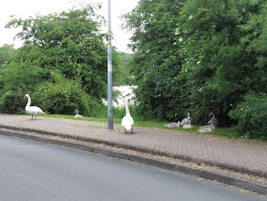 Photo: 27 Jun 13 Priorslee Flash: The Swans at the lake decided to explore dry land in Derwent Drive! (Ed Wilson)