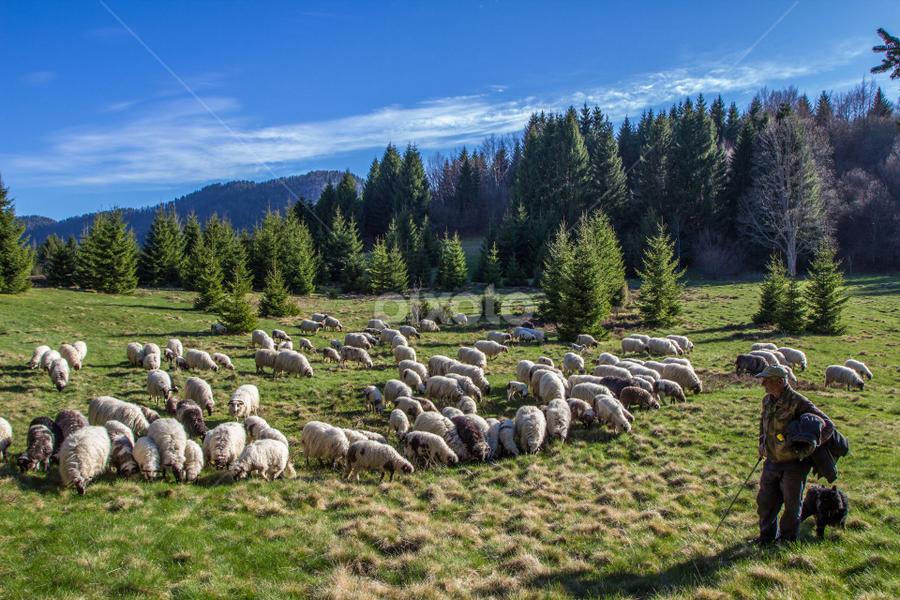 A Shepherd with a sheep herd at Zagmajna by Stanislav Horacek - Landscapes Prairies, Meadows & Fields