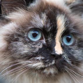 Ginny by Crazy  Photos - Animals - Cats Portraits ( british longhair, cat, pet, british cat, blue eyes, highlander, animal )