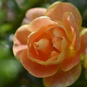 by Eloise Rawling - Flowers Single Flower ( rose, orange flower, orange rose,  )
