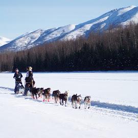 Mush  by Tracy Nicholas - Animals - Dogs Running ( dog race, snow, dogs, iditarod, sport )