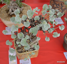 Photo: Pelargonium mirabilis 3rd place