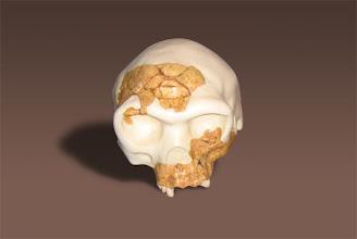 Photo: 3D del cráneo de Homo antecessor
