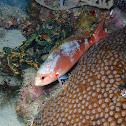 Creole-fish