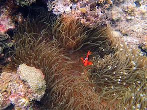 Photo: Amphiprion frenatus (Tomato Clownfish) with Entacmaea quadricolor (Bubble Anemone), Small Lagoon, Miniloc Island, Palawan, Philippines.