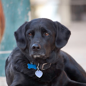 Old West Ranch Dog by Debbie Salvesen - Animals - Dogs Portraits ( labrador retriever, ranch, animal photography, older dog, old west, black lab, santa fe, relaxing, dog, black, new mexico,  )