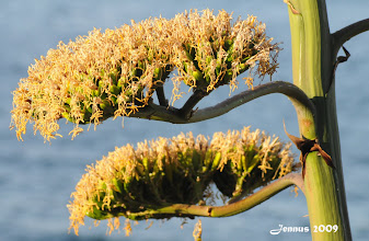 Photo: Agavenblüte am Mittelmeer  Der Blütenstiel kann bis zu 10 Meter hoch werden. Nach dem Blühen stirbt die Pfanze ab.