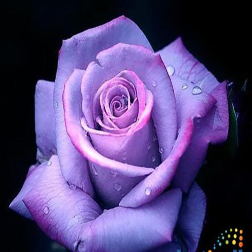 Rose Ger (app)