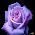 Rose Ger