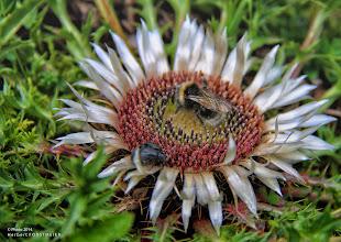 Photo: Die Silberdistel  Ist auf Kalkmagerwiesen in den Bergen schon von weitem an ihren silbern leuchtenden Hüllblättern zu erkennen.  Die großen Blüten schliessen sich bei feuchtem Wetter, daher auch der Name Wetterdistel.