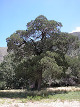 Photo: Before heading home, I drove around to the park entrance at Dog Canyon to measure this large Alligator Juniper.