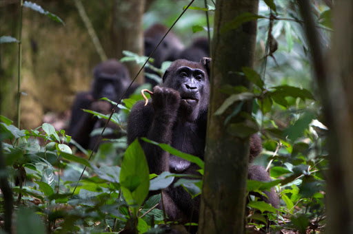 A Western Lowland Gorilla from the Neptuno Group feeds on Marantacae plants. Odzala National Park. Republic of Congo.