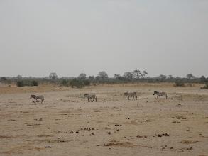 Photo: More zebras trek on over to the waterhole.