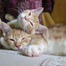 Brothers by Marcia Taylor - Animals - Cats Kittens (  )
