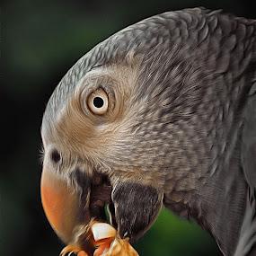 African Grey Timneh by Glenn Visser - Animals Birds ( parrot, nut, eating )