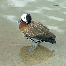 Photo: White-faced whistling duck