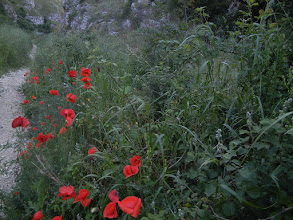 Photo: Poppies - they were growing everywhere