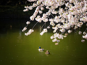 Photo: White cherry blossoms over a pond. Brooklyn Botanic Garden.   Brooklyn, New York City.  View the writing that accompanies this post here at this link on Google Plus:  https://plus.google.com/108527329601014444443/posts/Wq9M4AwLigY  View more New York City photography by Vivienne Gucwa here:  http://nythroughthelens.com/