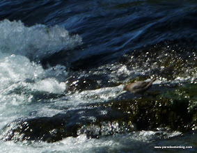 Photo: American Dipper feeding at Wizard Falls (taken with my point-and-shoot at max zoom). Metolius River.