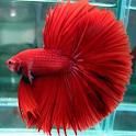 various betta fish icon
