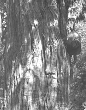Photo: The tree we were trying to find was discovered by Chief Ranger Jim Liles in '82, somewhere above the spring.
