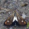 Dioptine Moth
