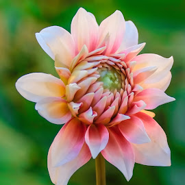 Pink Dahlia Bud by Jim Downey - Flowers Single Flower ( pink, green, white, dahlia, petals )