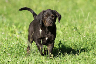 "Photo: Coahoma SACRAMENTO male black litter ""S"" *19/04/2016 Coahoma Catahoulas www.coahoma.eu"