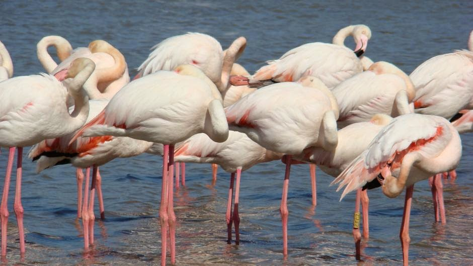 Фламинго нашли свою родину в лагунах и болотистых лугах в дельте Роны