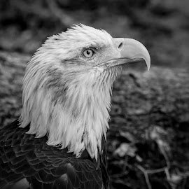 Bald Eagle by Debbie Quick - Black & White Animals ( raptor, debbie quick, nature, florida, bald eagle, debs creative images, birds of prey, outdoors, bird, eagle, animal, black and white, wild, wildlife )