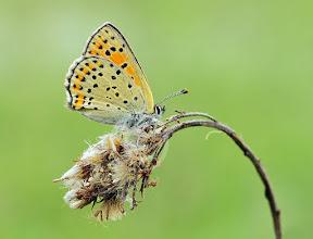 Photo: Lycaena tityrus, Cuivré fuligineux, Sooty Copper  http://lepidoptera-butterflies.blogspot.com/